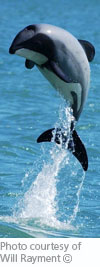 free gift hector dolphin adoption pack